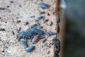 emtec pest control interesting facts  pill bugs