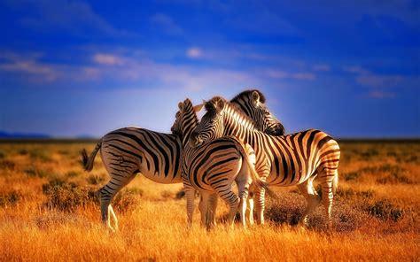 beautiful colorful animals zebras hd wallpaper wallpaperscom