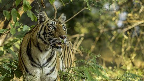 dangerous wild animals indian tiger desktop wallpaper hd