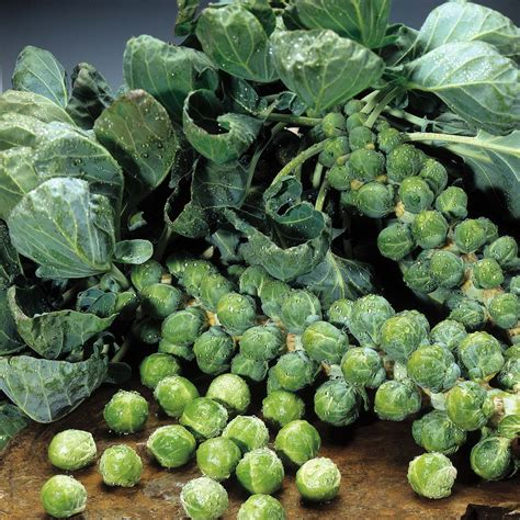 Brussels Sprouts Plant Care Guide ~ Container Growing