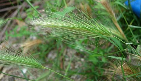 grass awn what is a grass awn 28 images canada wild rye the