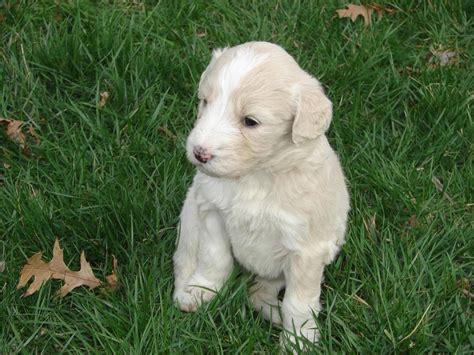 cost of labradoodle puppy labradoodle