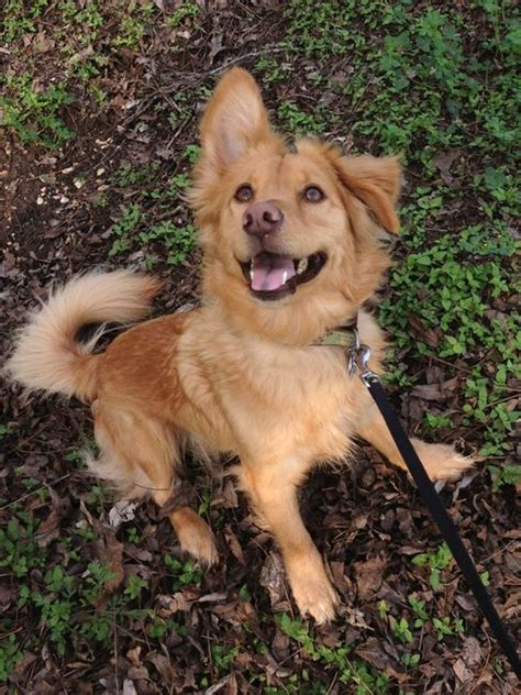 corgi golden retriever for sale 17 best ideas about golden retriever mix on dachshund mix golden husky
