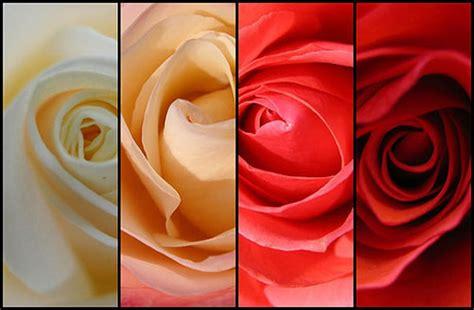 Obat Alami Pembunuh Jamur mawar dan khasiatnya dblizz