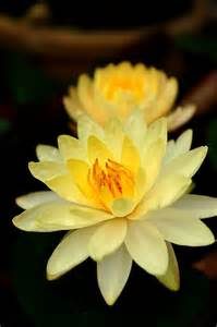 Yellow Lotus Yellow Lotus Flowers