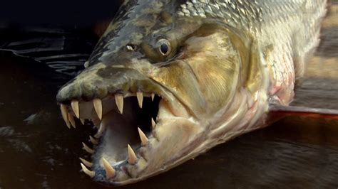 scary fish related keywords scary fish long tail
