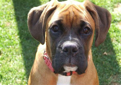 razas de perros peque 209 os de pelo corto con imagenes