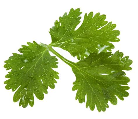 Cilantro Coriander Leaves cilantro leaves coriander seed healing herbs