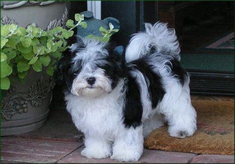 derby city havanese best 25 havanese grooming ideas only on havanese puppies grooming