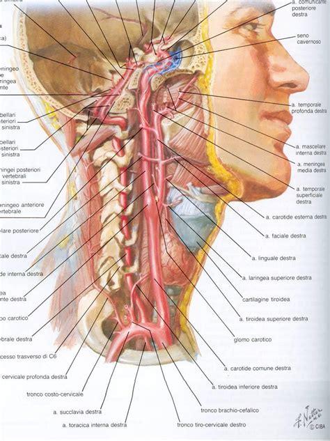vasi sovraortici arteria carotidea comune