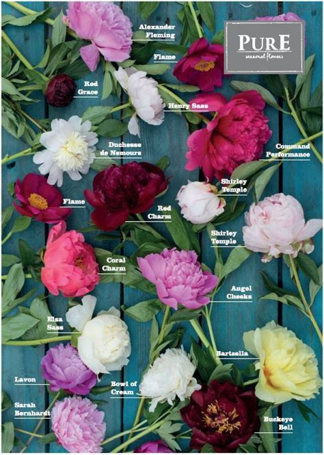 peony color 25 best ideas about peonies on peony pink