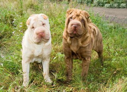 coat shar pei puppies shar pei dogs