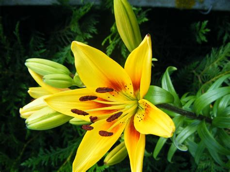 fleur de lis l fleur de lis photo et image jeunes photographes sujets