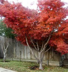 species japanese maple tree