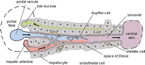 liver cell diagram file liver structure jpg embryology