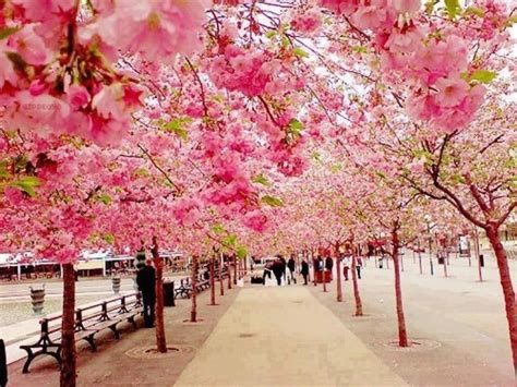 pictures of cherry blossom trees blossoms koshersamurai
