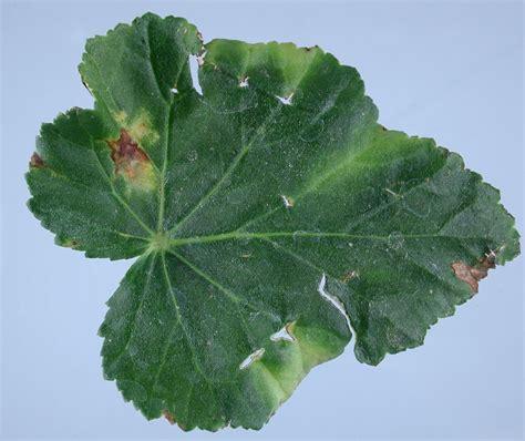 begonia leaf spot pacific northwest pest management handbooks