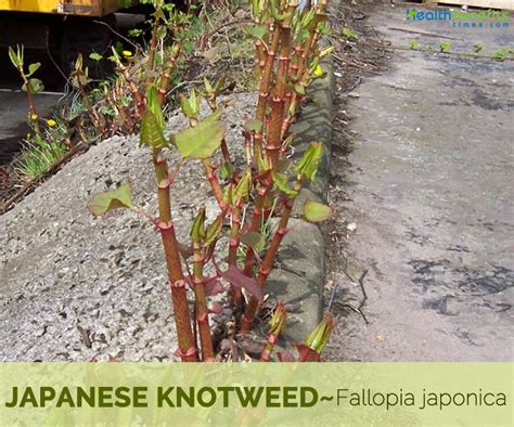 Japanese knotweed Facts and Health Benefits