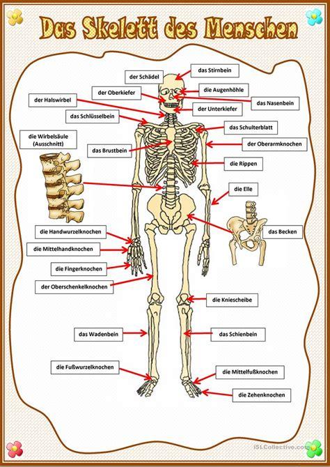 Beschriftung Skelett by Das Skelett Des Menschen Arbeitsblatt Kostenlose Daf