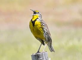 western meadowlark identification all about birds