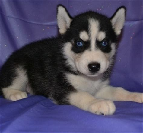 siberian husky puppies for sale 300 in los angeles lovely siberian husky puppies los angeles for sale los angeles pets dogs