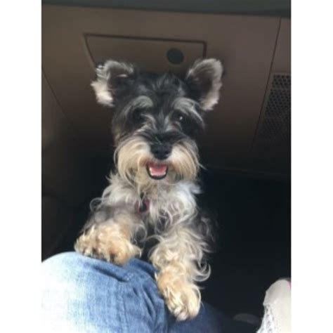 breeder indiana miniature schnauzer breeders in indiana freedoglistings