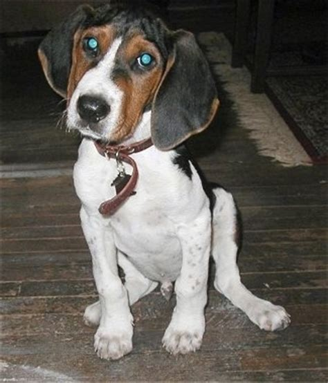 treeing walker coonhound puppies treeing walker coonhound breed pictures 1