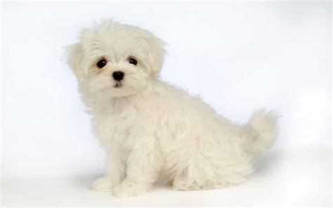 maltese poodle lifespan small puppies breed profiles small dogs small