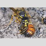 Queen Wasp Compared To Normal Wasp | 2268 x 1512 jpeg 523kB
