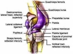 Pin functional anatomy of the knee movement and stability on pinterest
