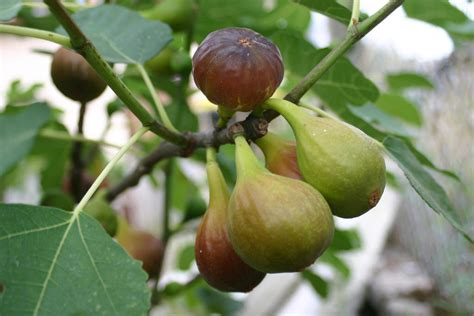 Beautiful Backyards Fig Trees For Small Backyards Or Container Gardens
