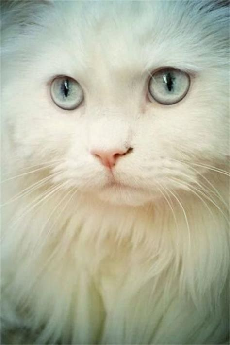 Animal World 1324 1324 best white cats images on white cats