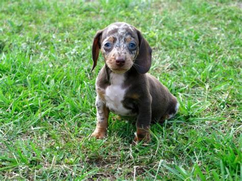 puppies ga friendly blue miniature dachshund puppies for sale in at atlanta