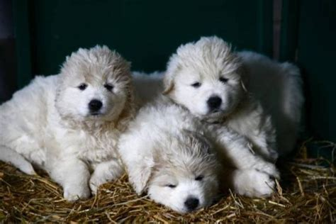 kuvasz puppies kuvasz puppies kuvasz