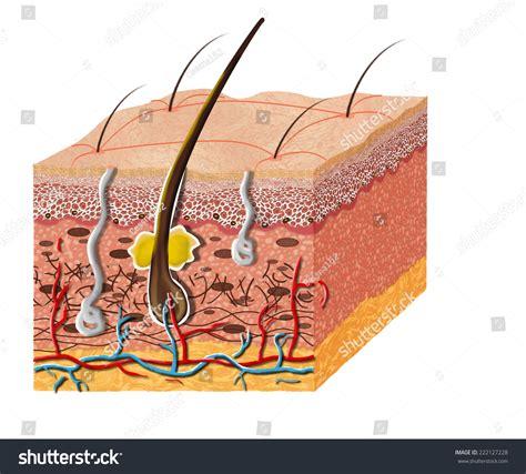 cross section of skin diagram skin anatomy diagram illustration skin cross stock