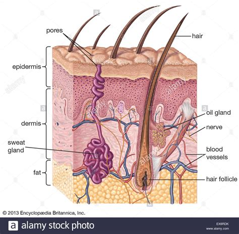 cross section of cross section of human skin stock photo royalty free
