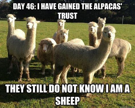 Alpaca Sheep Meme - funny animal memes part 2