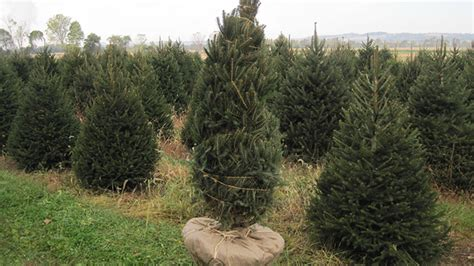 cost of tree wycoff tree farm nj dug trees available at wyckoffs