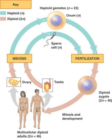 human cycle diagram chapter 13 meiosis sexual stages ap bio notebook