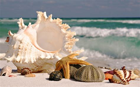 shell wallpaper wallpaper beach sea ocean shell starfish desktop