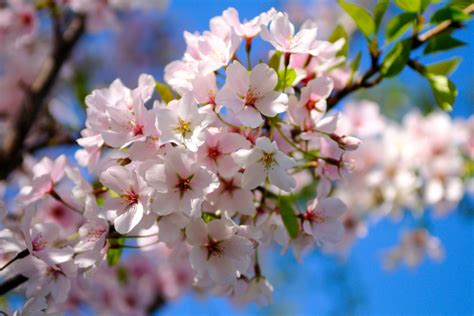 it s cherry blossom time in washington and beyond csmonitor com