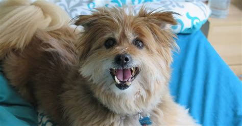 cairn terrier pomeranian mix nachos the pomeranian cairn terrier mix quot makes us feel more like a family quot