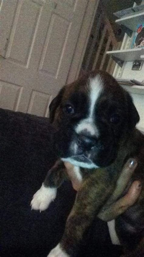 boxer puppies for sale in colorado boxer puppies for sale lancashire pets4homes