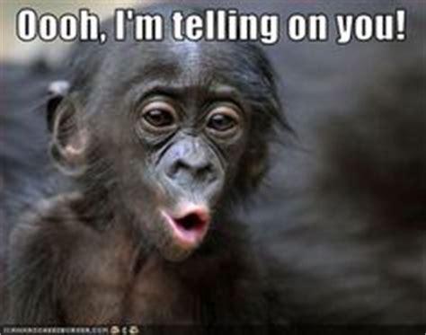 Tattle Tale Meme - 1000 images about gorillas chimps monkeys on