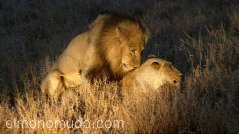 imagenes leones apareandose leones en la noche del kruger national park