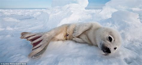 Seal Water Vixion gunther riehle photographs harp seals in canada as they