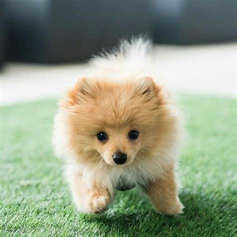 kong puppy 18 best kong da savage images on doggies german spitz and logan paul kong