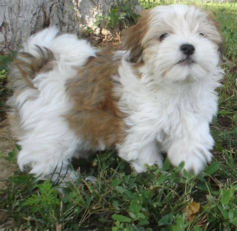 pictures of a havanese coat patterns