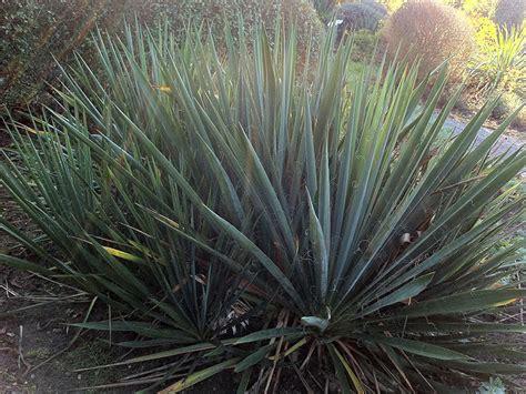 gartenyucca pflege palmlilie yucca filamentosa pflanze f 228 dige palmlilie