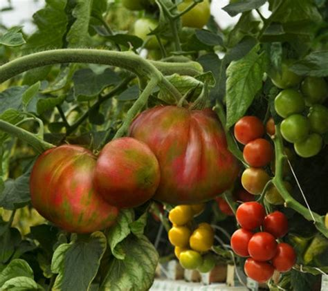 cottage farms plants cottage farms kaleidoscope colors 2 grafted tomato